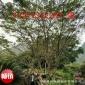 供应广西低分支高分支国槐树30公分,广西国槐树,桂林国槐树