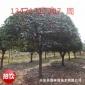 供应广西低分支高分支桂花树17公分,广西桂花树,桂林桂花树