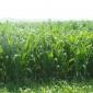 花海种子批发中心甜高粱种子厂家供应