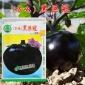 大面积种植茄子种子 高产黑圆茄 中早熟亩产达2万斤 杂交黑巨冠F1