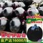 黑龙快圆茄种子二苠茄种子丰富维生素庭院高产蔬菜种子 紫茄子
