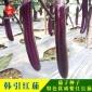 威尔种子批发 韩引红茄 紫红长茄种子 红棒茄种籽 茄子种子1000粒